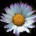 Daisy Under Sun by Nina Ficur Feenan