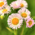 Daisy Weeds by FineArtRoyal Joshua Mimbs
