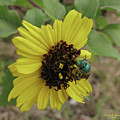 Daisy With Blue Bee by Donna Brown