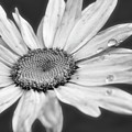 Daisy With Raindrops In Black And White by Smilin Eyes  Treasures