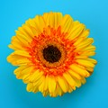 Daisy - Yellow - Orange On Light Blue by Ray Shrewsberry