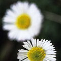 Daisys by Carl Shaneff - Printscapes