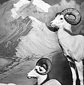 Dall Sheep by Granger