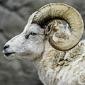Dall Sheep by Michael Putthoff
