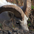 Dall Sheep Ram  by Michelle Knauber