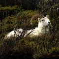 Dall Sheep Ram by Sharon Goldsboro