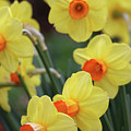Dallas Daffodils 01 by Pamela Critchlow