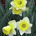 Dallas Daffodils 08 by Pamela Critchlow
