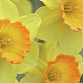 Dallas Daffodils 24 by Pamela Critchlow