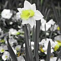 Dallas Daffodils 54 by Pamela Critchlow