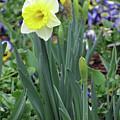 Dallas Daffodils 63 by Pamela Critchlow