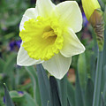 Dallas Daffodils 64 by Pamela Critchlow