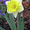 Dallas Daffodils 71 by Pamela Critchlow