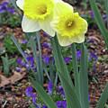 Dallas Daffodils 78 by Pamela Critchlow