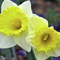 Dallas Daffodils 79 by Pamela Critchlow
