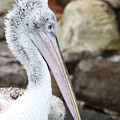 Dalmatian Pelican by Judy Whitton