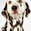 Dalmation by Esoterica Art Agency