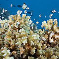 Damselfish Among Coral by Dave Fleetham - Printscapes