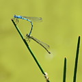 Damselflies by Jeff Townsend