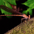 Damselfly 006 by George Bostian