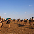 Camels In The Danakil Depression by Aidan Moran
