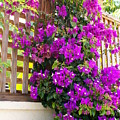 Dance Of The Bougainvilla by Florene Welebny