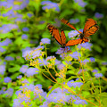 Dance Of The Butterflies by Edward Peterson