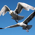 Aerial Dance Of The Seagulls by Laurel Talabere