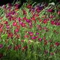 Dance Of The Tulips by John Whitmarsh