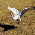 Dancing Crane by David Lee Thompson