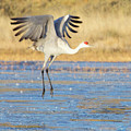 Dancing Crane by Marla Craven