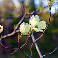 Dancing Dogwood Blooms by Cricket Hackmann