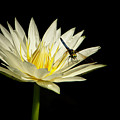 Dancing On A Water Lily by Sabrina L Ryan