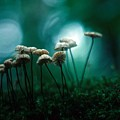 Dancing Parasol Mushrooms by Laurie Paci