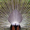 Dancing Peacock, Kanha National Park by Panoramic Images