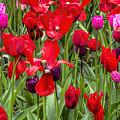 Dancing Tulips by Nadia Sanowar