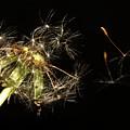 Dandelion 2 by Robert Morin