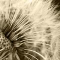 Dandelion 8 by Micah May