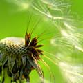 Dandelion by Alana Ranney