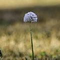 Dandelion by Alice Mary Herden