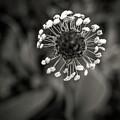 Dandelion.  by Angela Aird