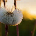Dandelion At Sunset by Simon Cook