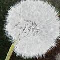 Dandelion by Betty-Anne McDonald