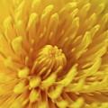 Dandelion Bloom by Dylan Punke