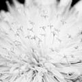 Dandelion by Chris Scroggins