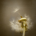 Dandelion Clock by Ian Barber
