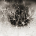 Dandelion Close-up by Larry Dale Gordon - Printscapes
