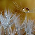Dandelion Drop by Wolfgang Stocker