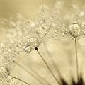 Dandelion Drops by Sharon Johnstone