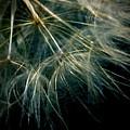 Dandelion Eighty Six by LKB Art and Photography